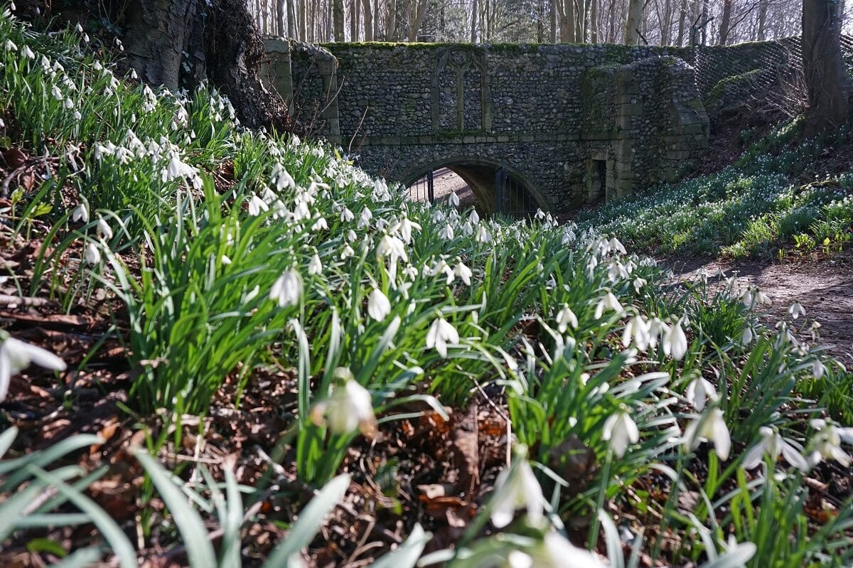 snowdrops and the bridge by Walsingham abbey
