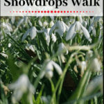 """snowdrop flowers with text overlay """"walsingham england snowdrops walk"""""""
