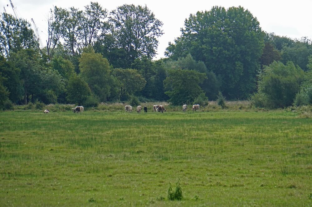 Cows in Christ Church Meadow - Two Traveling Texans