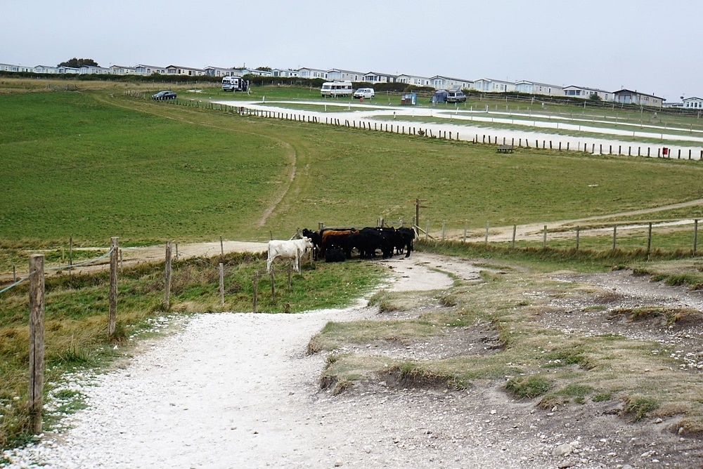 Cows on the hiking path - Durdle Door and Lulworth Cove - Two Traveling Texans