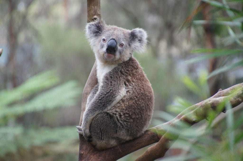 Koala - Tips for Visiting Australia