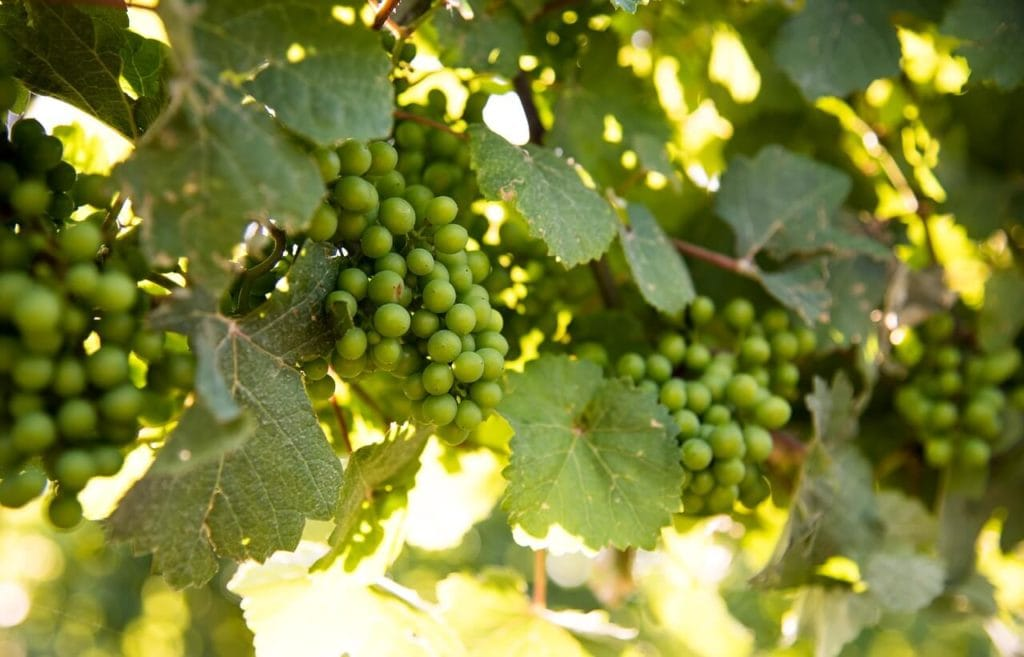 Grapes on a vine in a vineyard in Niagara on the Lake