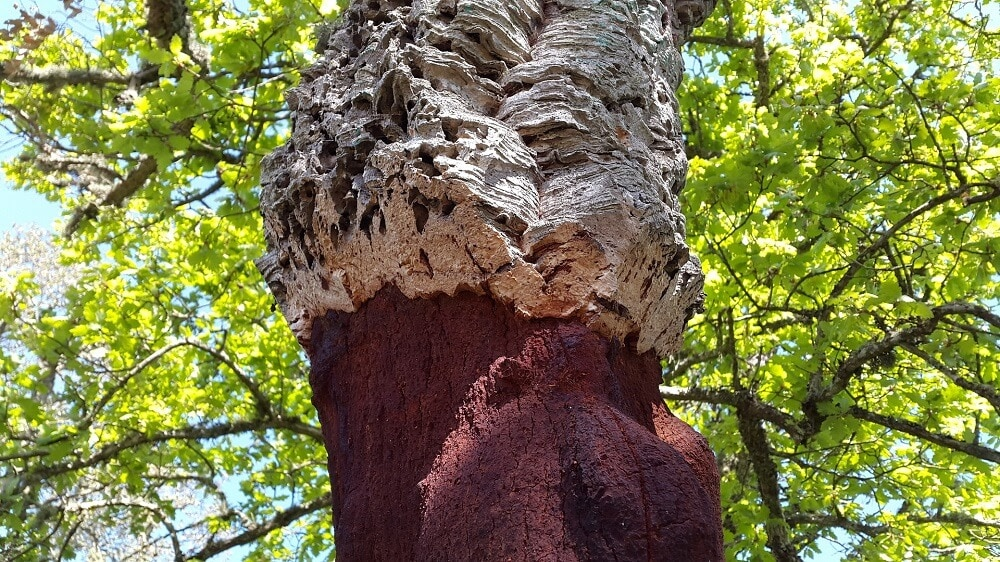 Cork Oak Tree in the Algarve