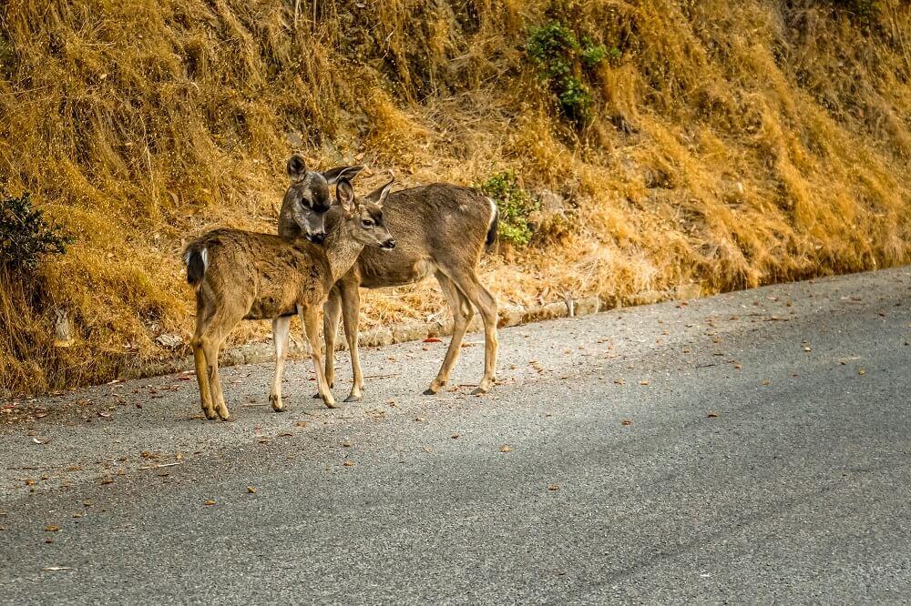 Angel Island Deer