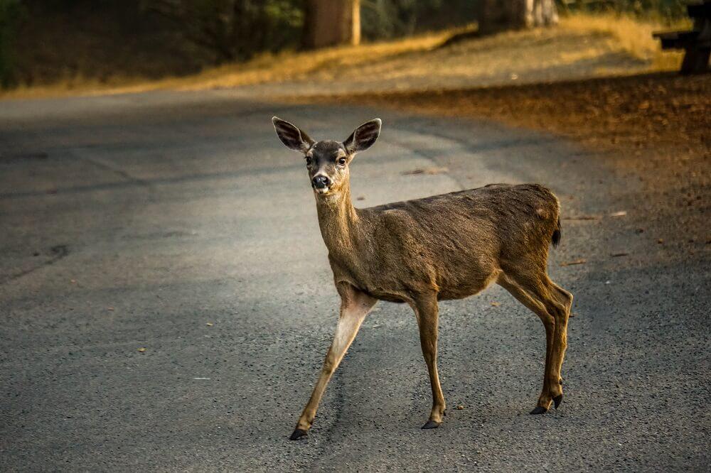 Deer on the road in Angel Island