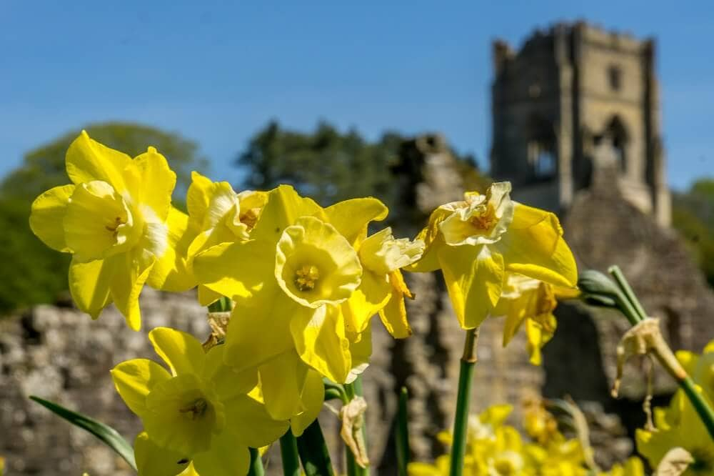daffodils with Fountains Hall in the background