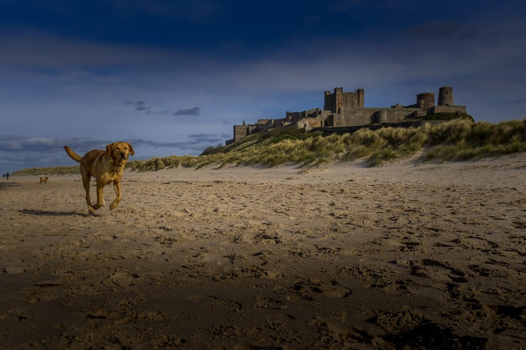 dog running on the beach in front of Bamburgh castle