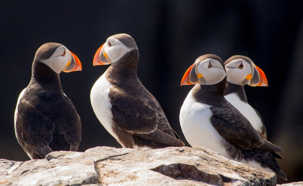 puffins on the farne islands in northumberland