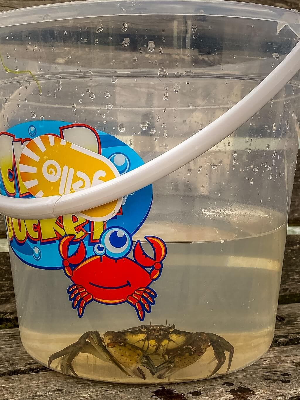 cromer crab in a bucket