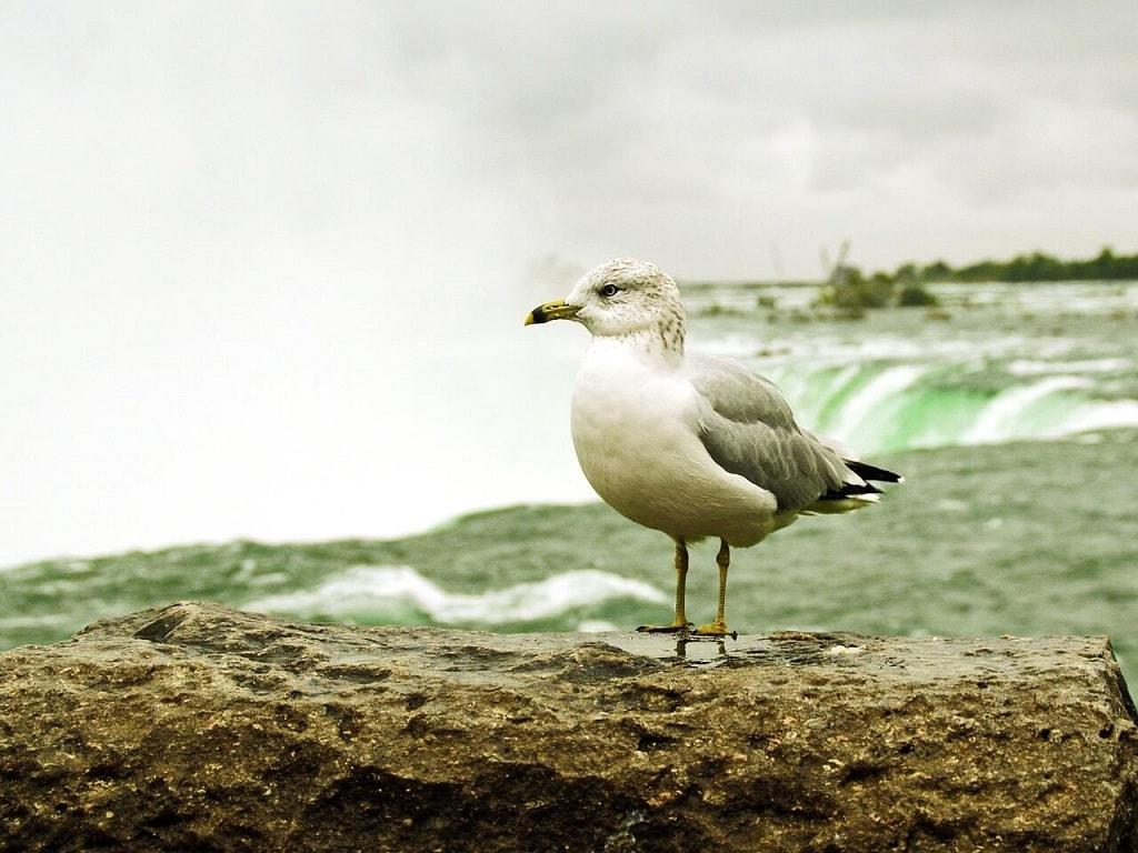 seagull bird by niagara falls