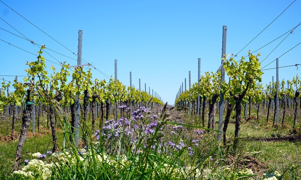 rows of grape vines in a vineyard