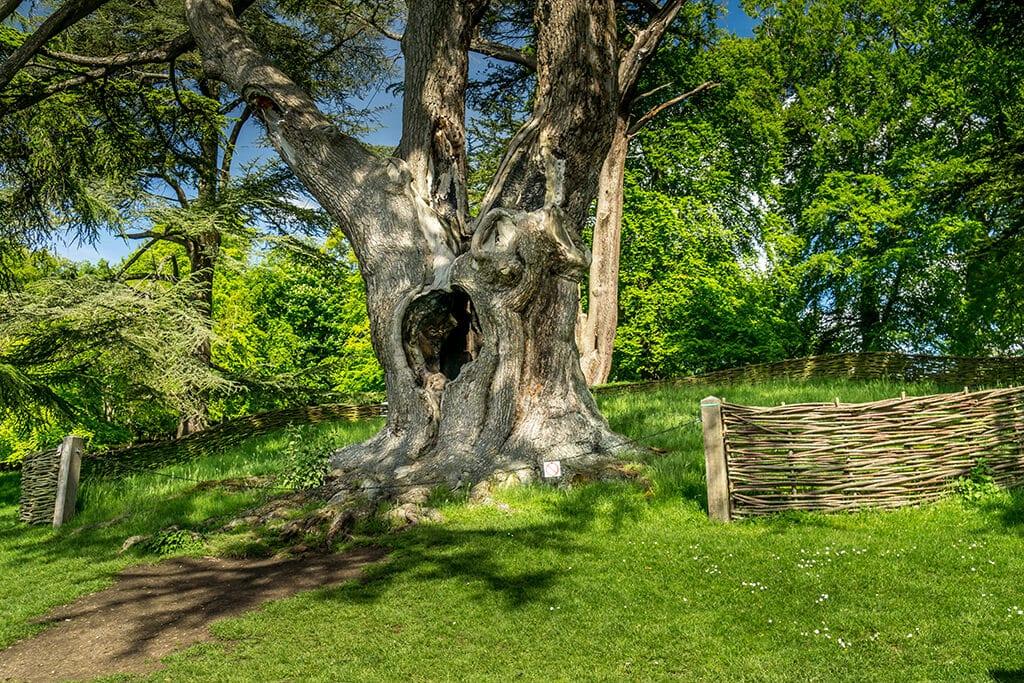 harry potter tree at Blenheim Palace