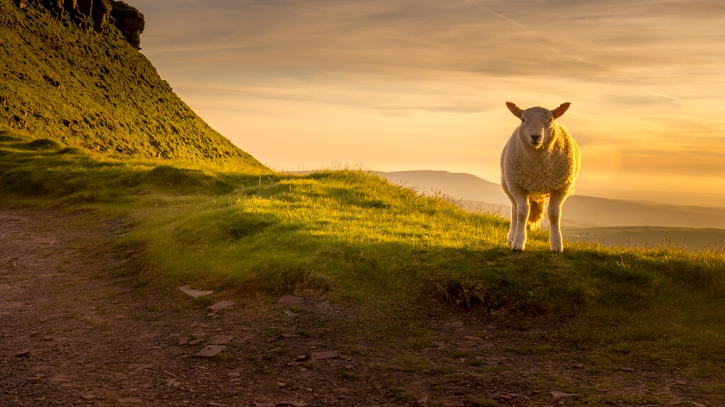 sheep with sunset from pen y fan in the background